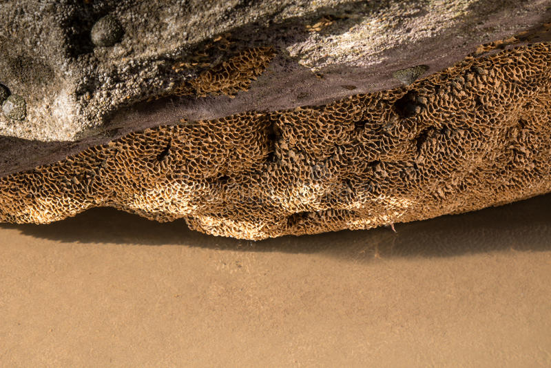 Dettaglio di un corallo sulla roccia di una spiaggia immagine stock
