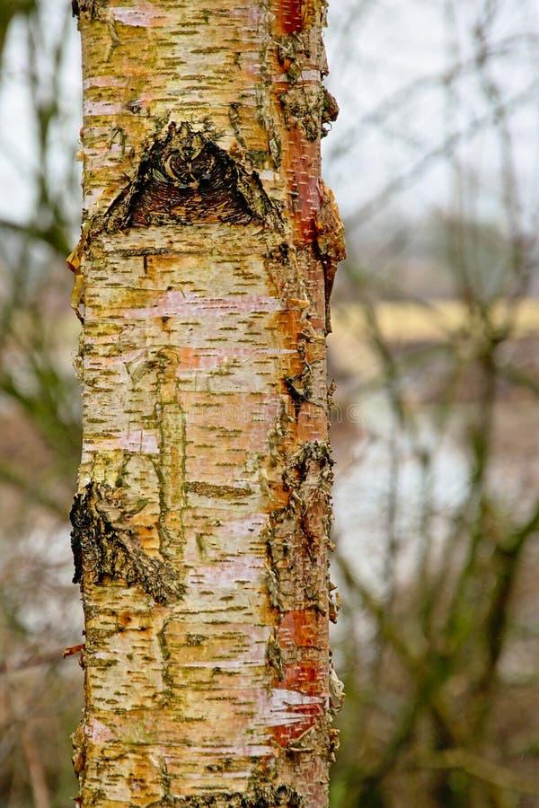 Dettaglio di un tronco di albero d'argento del bich - Betula Pendula immagine stock libera da diritti