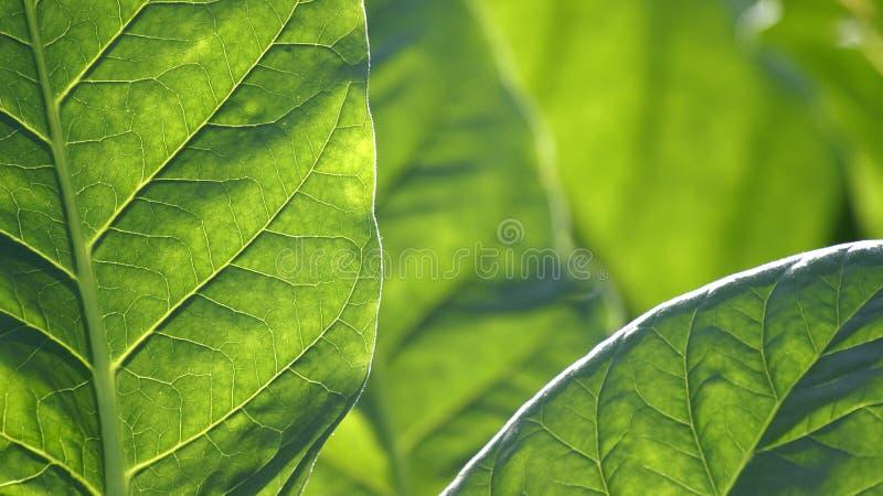Dettaglio di una foglia marrone del tabacco fotografia stock libera da diritti