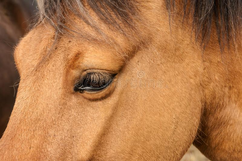 Dettaglio di una testa del ` s del cavallo immagini stock libere da diritti