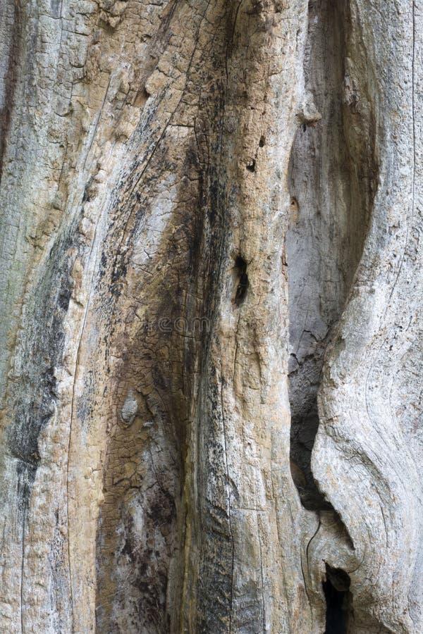 Dettaglio morto di struttura dell'albero fotografia stock libera da diritti