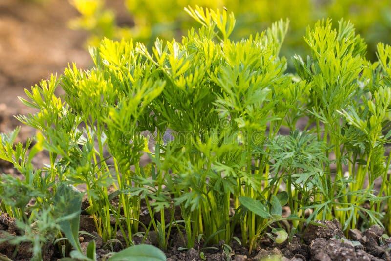 Dettaglio piante di una carota di fila sulle giovani in letto di verdure immagine stock libera da diritti