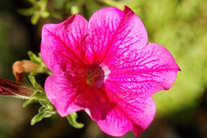 Dettaglio rosa del fiore della petunia fotografia stock libera da diritti