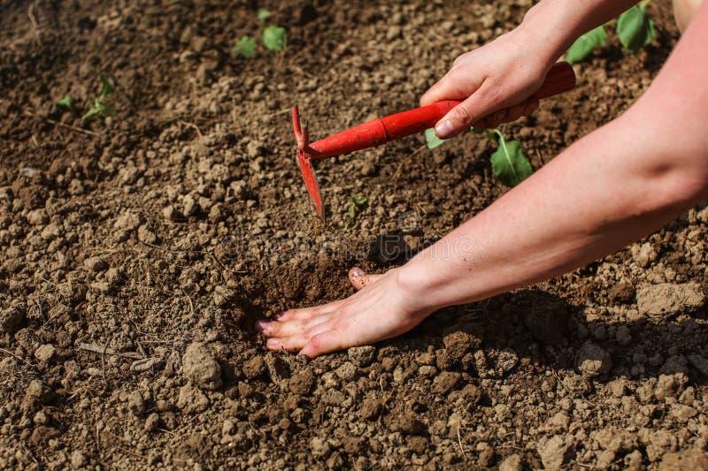 Dettaglio sulla mano della donna, foro di scavatura con la piccola zappa della larva da piantare fotografia stock libera da diritti