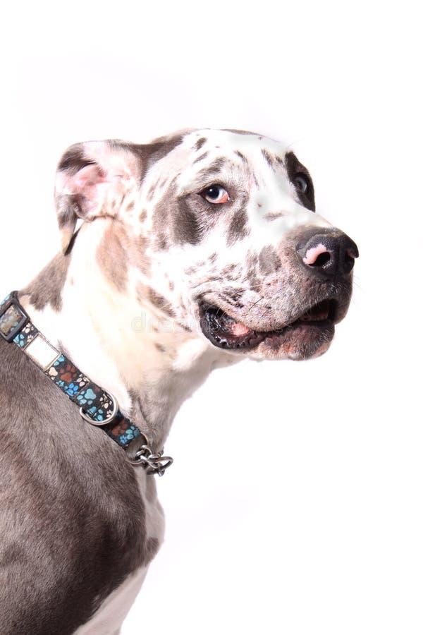 Deutsche Dogge stockbild