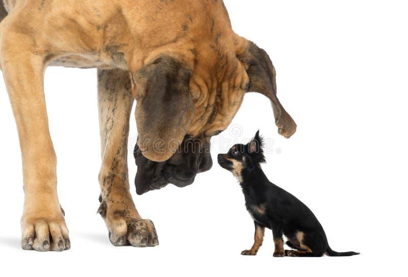 Deutsche Dogge, die ein Chihuahuasitzen betrachtet stockbild