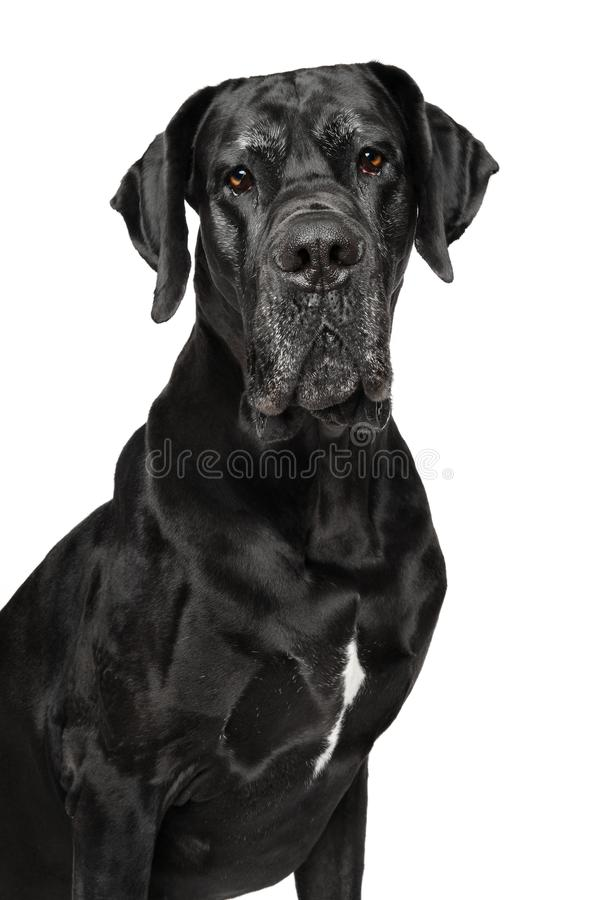 Deutsche Dogge lokalisiert auf Weiß stockbild