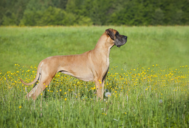 Deutscher Mastiff stockfoto
