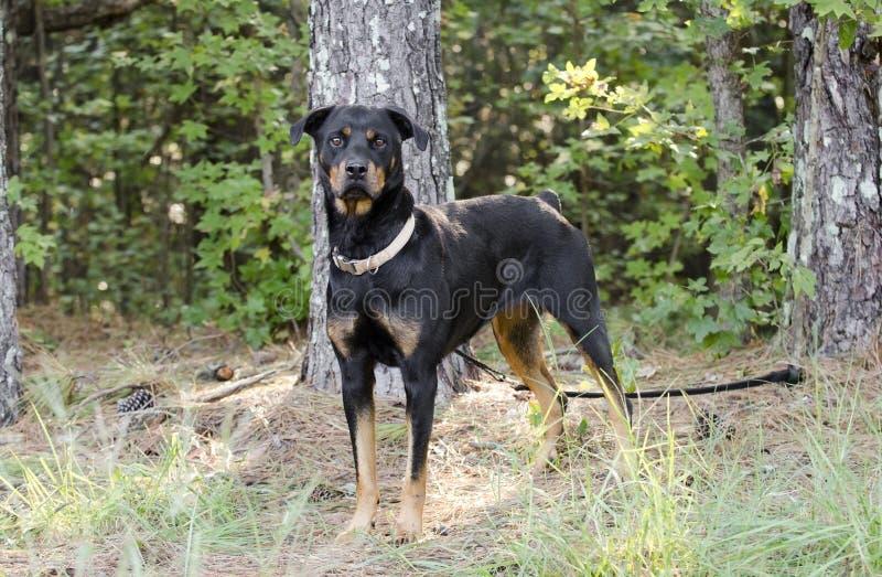 Deutscher Rottweiler-Hund stockfoto