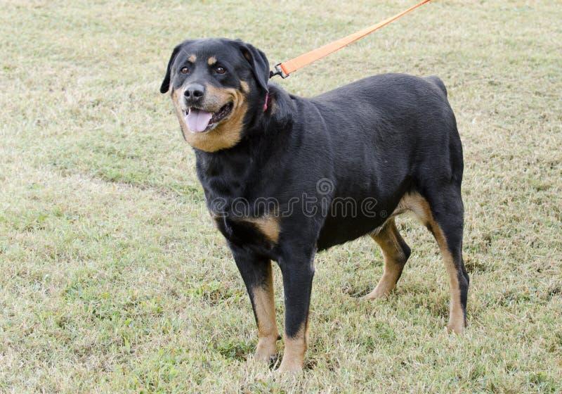 Deutscher Rottweiler-Hund lizenzfreie stockfotografie