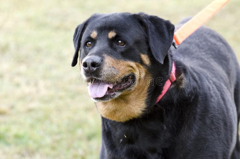 Deutscher Rottweiler-Hund lizenzfreies stockfoto