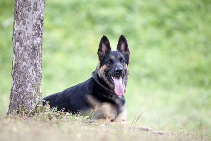 Deutscher Shepard-Hundelage draußen unter Baum stockfotografie