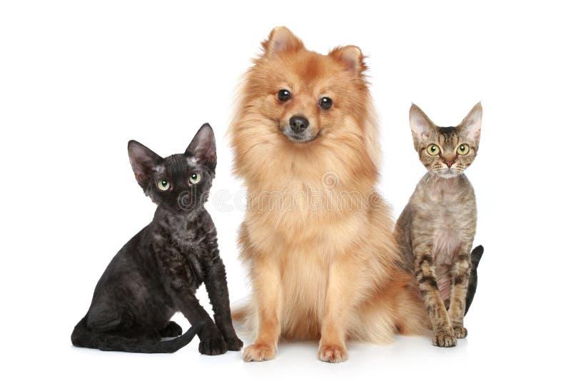 Deutscher Spitzhund mit Katzen Devon-Rex stockfotos