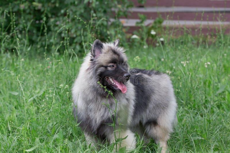 Deutscher wolfspitz bevindt zich op een groene weide Keeshond of Duitse spitz Huisdieren stock foto