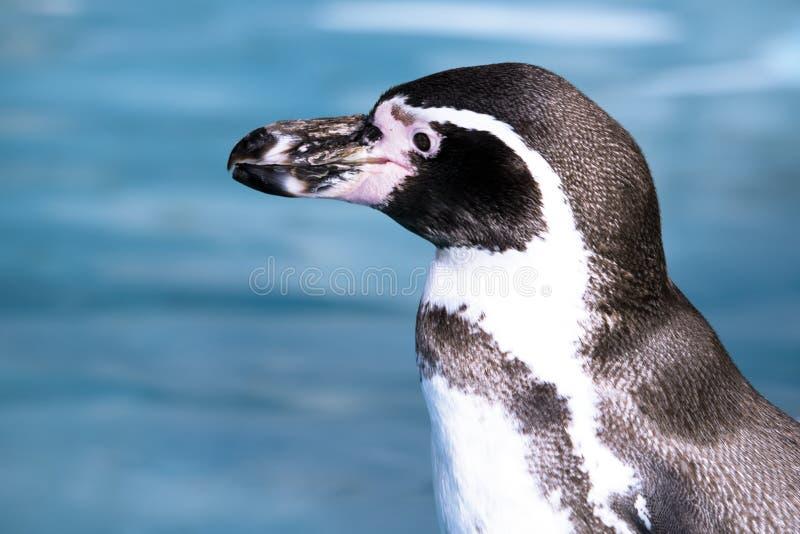 Deutschland, Köln, Humboldt-Pinguin im Zoo lizenzfreie stockfotos