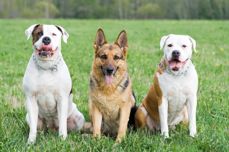 Deutschland-Schäferhund und zwei amerikanische Bulldoggen stockfotografie