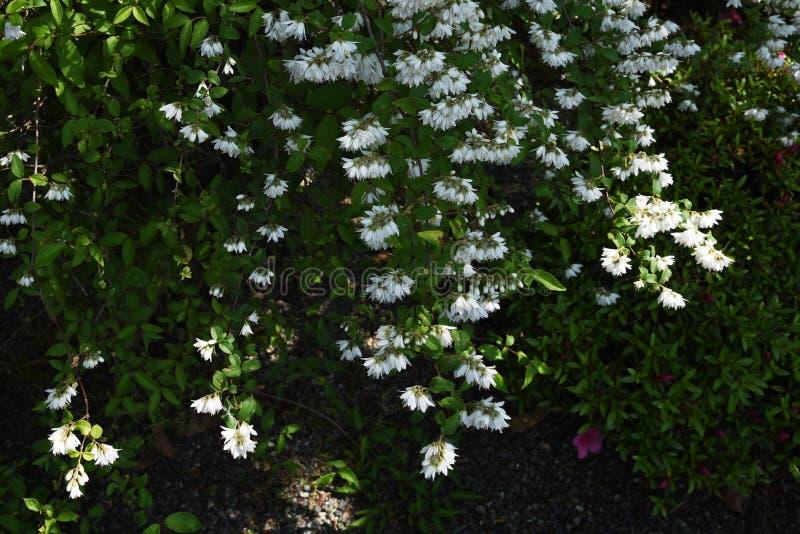 Deutzia crenata flowers royalty free stock image