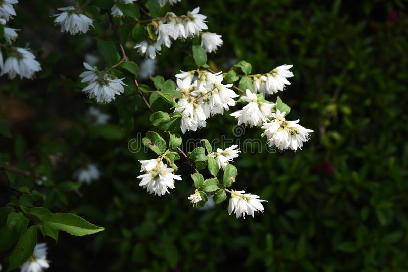 Deutzia crenata flowers royalty free stock photography