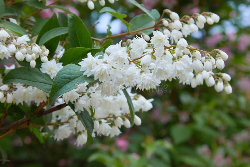 Fuzzy Deutzia, Deutzia scabra double flowered in bloom royalty free stock photos