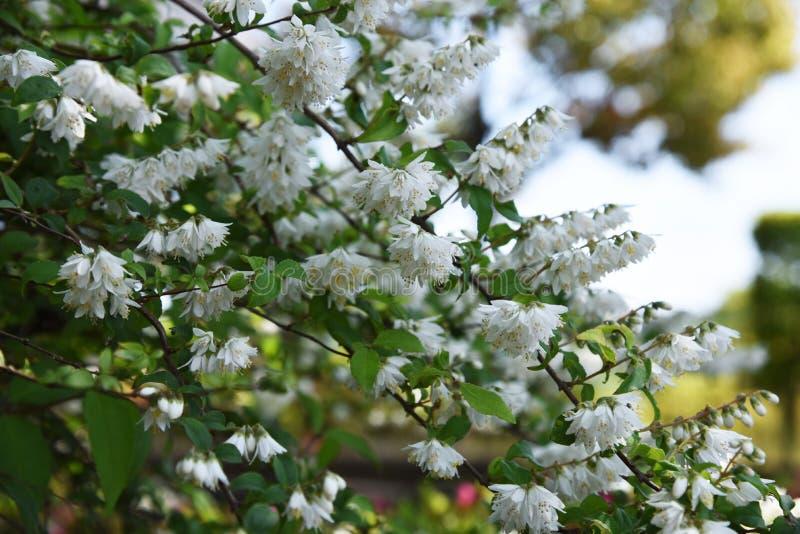 Deutzia crenata kwiaty obraz stock