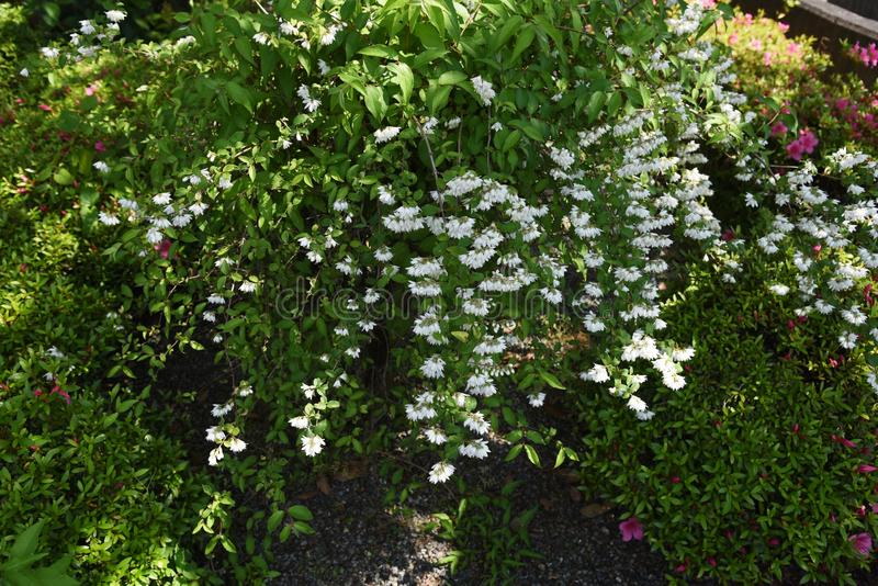 Deutzia crenata kwiaty obrazy royalty free