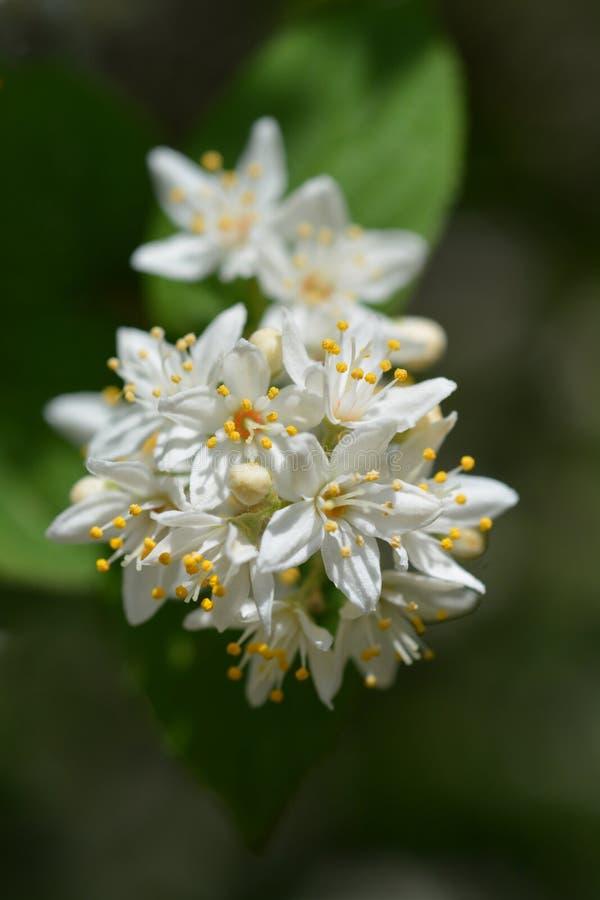 Deutzia flowers stock images