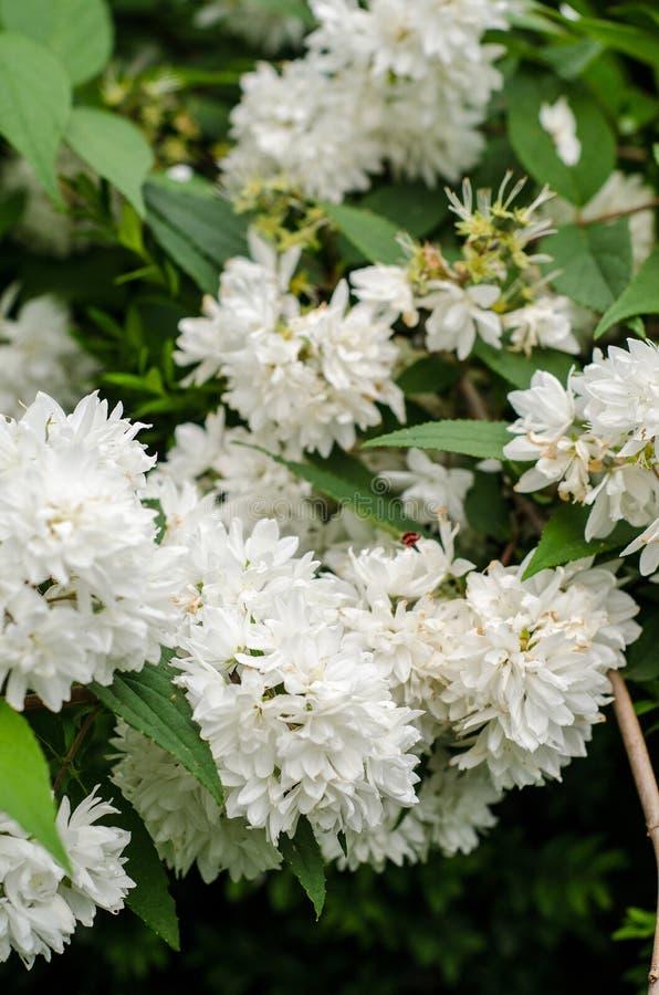 Deutzia flowers royalty free stock photos