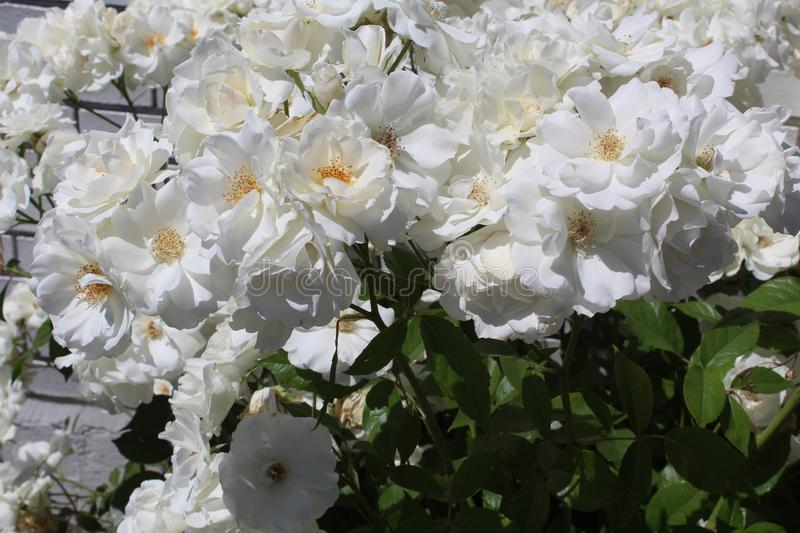 Deutzia. Is a genus of about 60 species of flowering plants in the family Hydrangeaceae, native to eastern and central Asia, and Central America and also Europe stock photos