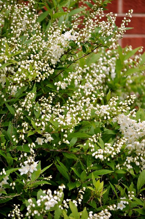 Deutzia gracilis shrub. stock image