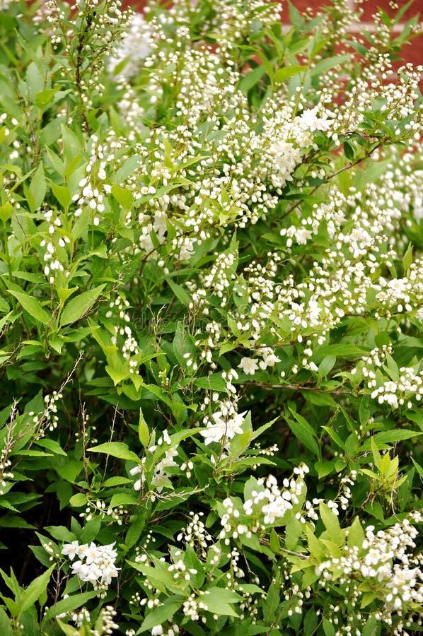 Deutzia gracilis struik stock afbeelding