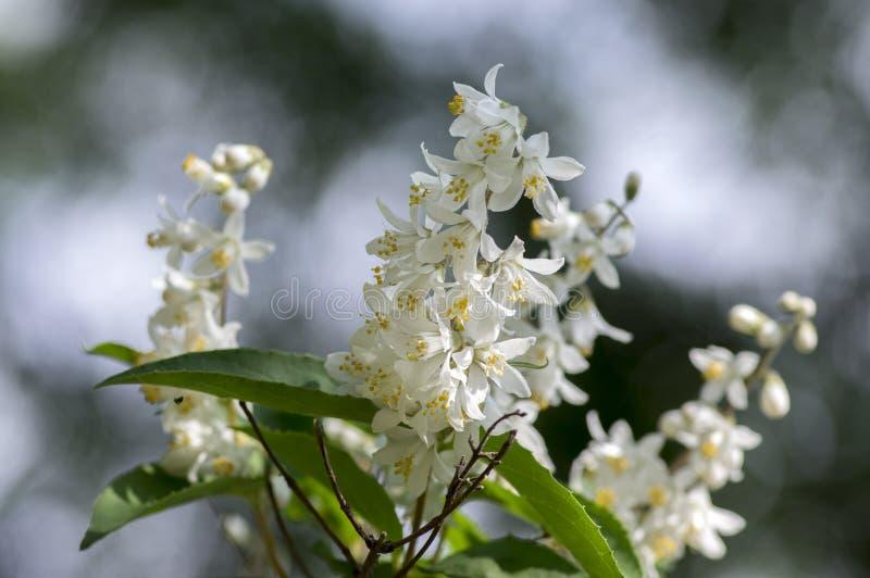 Deutzia gracilis white flowers in bloom, beautiful flowering ornamental shrub stock photography