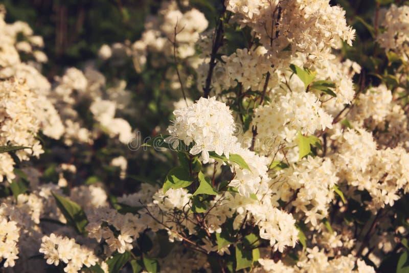 Deutzia lemoinei plant. Many small white flowers on a bush in spring park royalty free stock photos