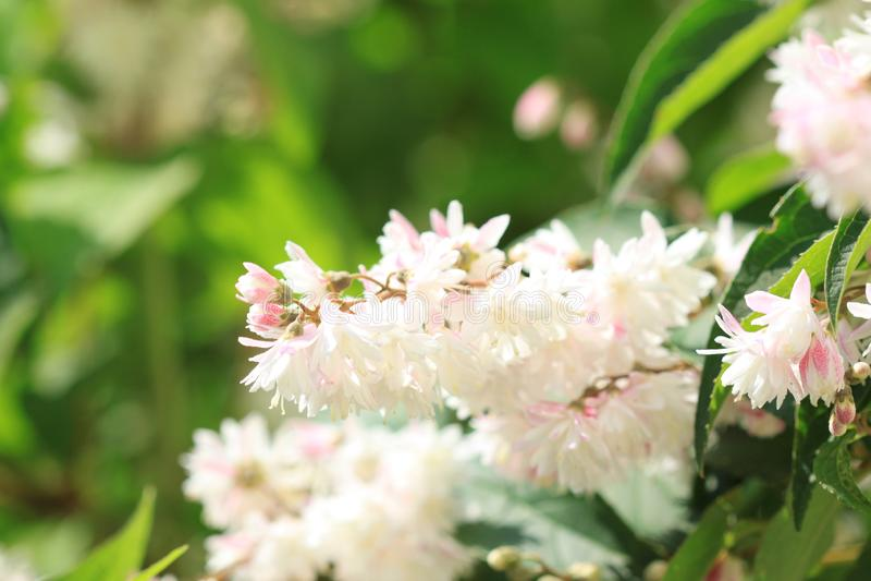 Deutzia scabra white flowers stock image