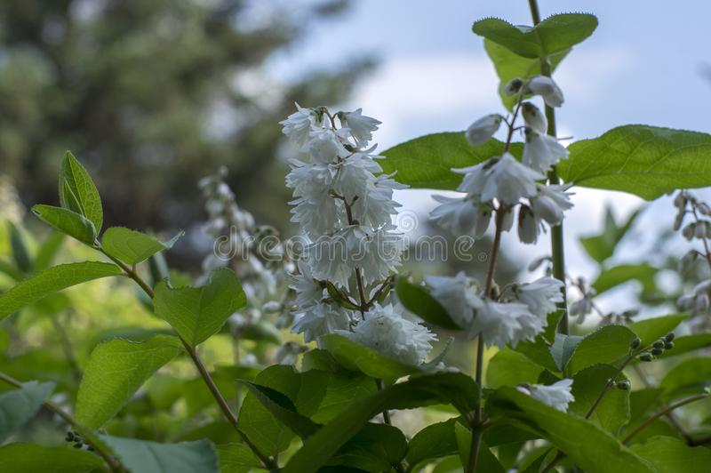 Deutzia scabra white pink double flowers in bloom, beautiful flowering ornamental shrub royalty free stock photography