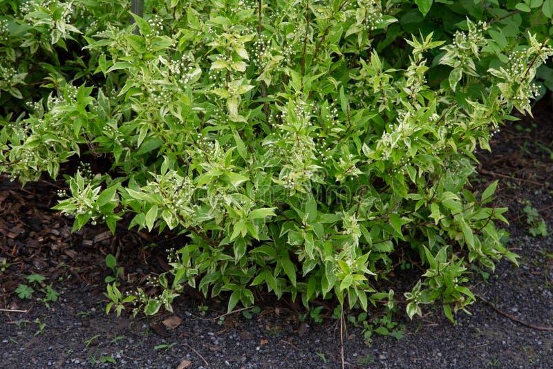 Deutzie-grêle schlanker Deutzia Deutzia zarter Variegata-Hydrangeaceaegarten lizenzfreies stockbild