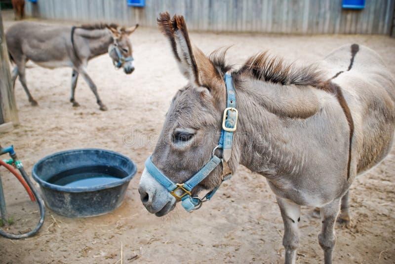 Deux ânes photos stock