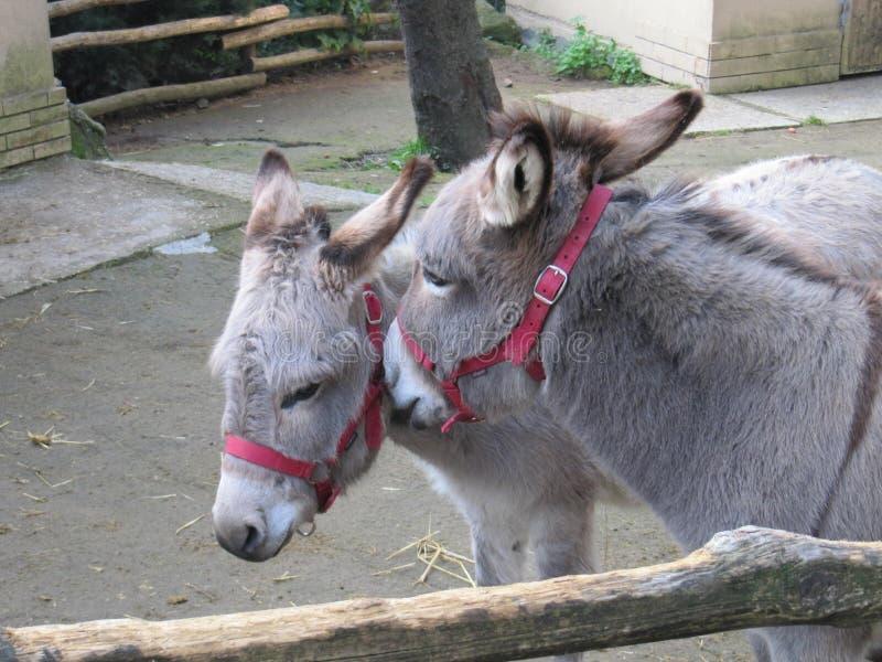 Deux ânes ayant une causerie photo libre de droits