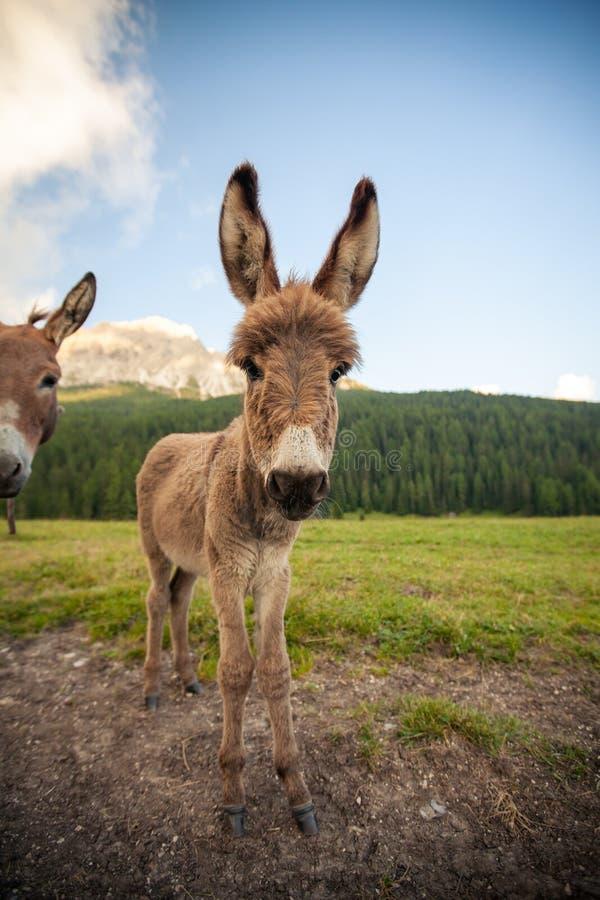 Deux ânes mignons en dolomites photo libre de droits