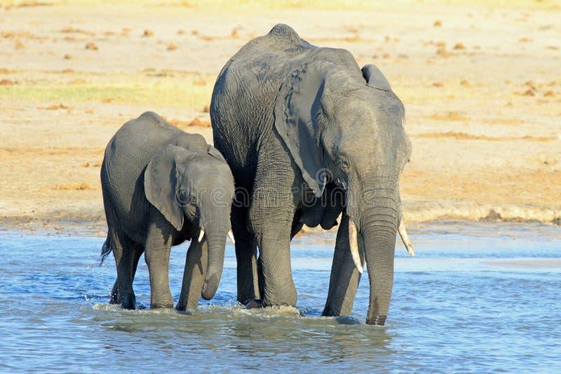 Deux éléphants africains buvant et se vautrant dans un point d'eau en parc national de Hwange image libre de droits
