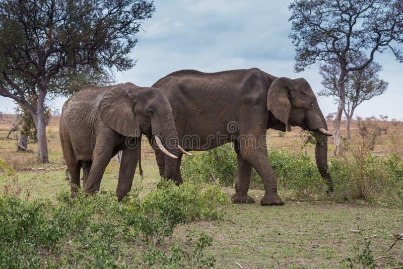 Deux éléphants africains marchant dans la prairie, parc de Kruger, Afrique du Sud photographie stock libre de droits