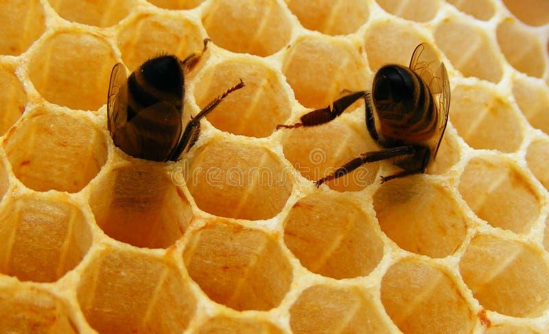 Deux abeilles à l'intérieur de cellule de nid d'abeilles photos libres de droits