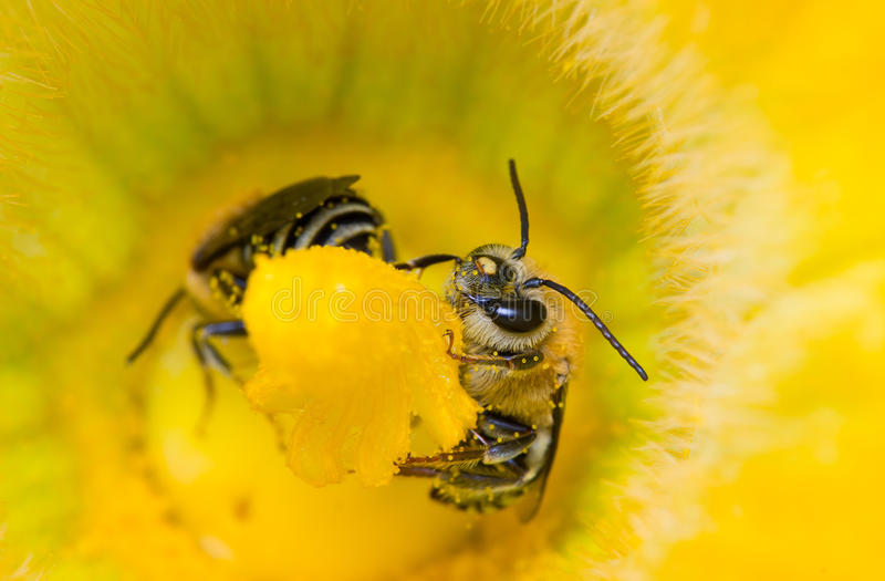 Deux abeilles se reposant en fleur de courge photographie stock libre de droits