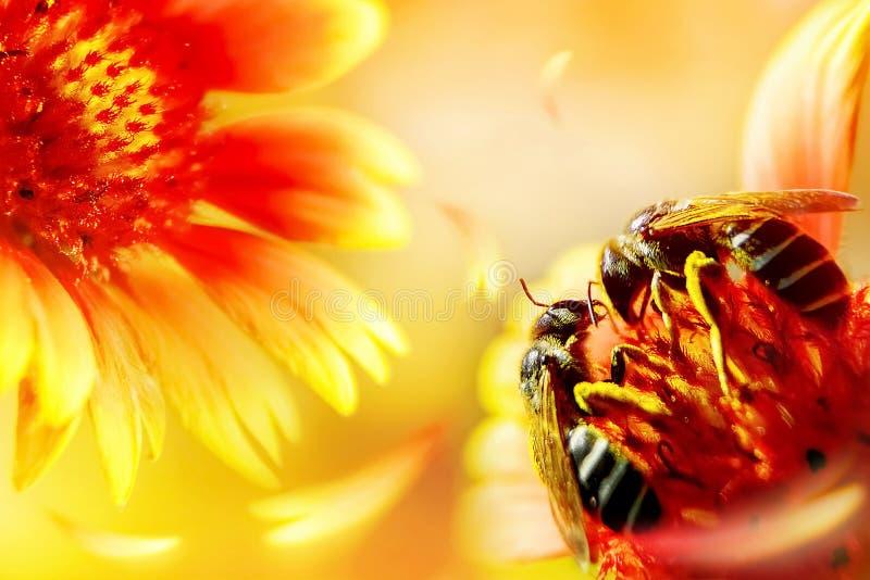 Deux abeilles sur une belle fleur rouge-jaune Macro image naturelle artistique Jour de Valentineâs image libre de droits