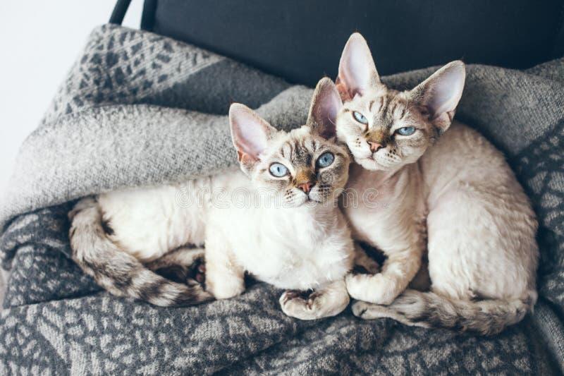 Deux adorables et chats mignons de Devon Rex photos libres de droits