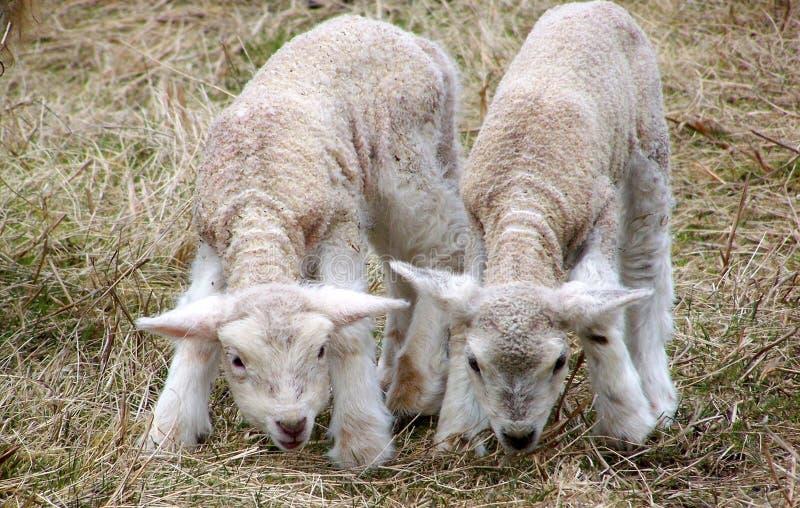 Deux agneaux frôlent dans leur pâturage photographie stock libre de droits