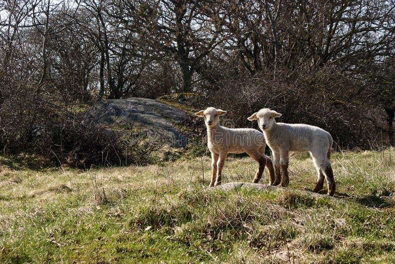 Deux agneaux mignons photo stock