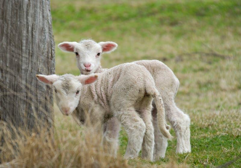Deux agneaux mignons image libre de droits