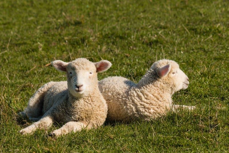 Deux agneaux se reposant sur l'herbe photos libres de droits