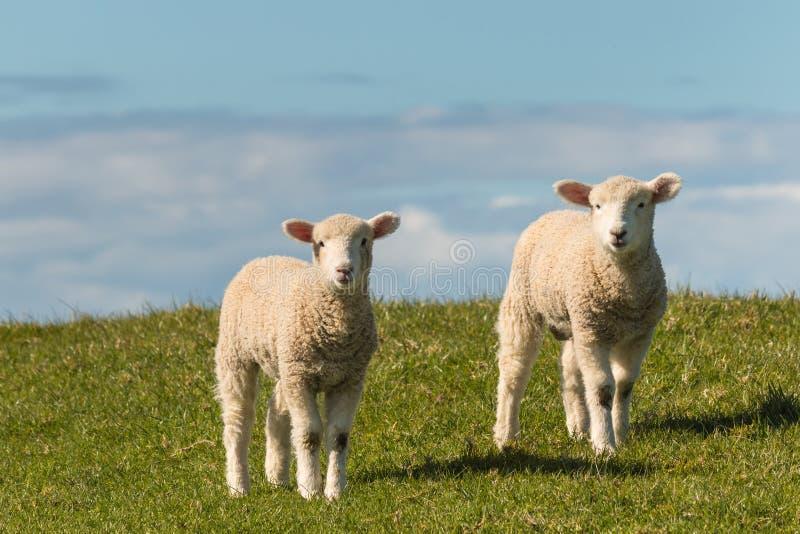 Deux agneaux se tenant sur le pré photos stock