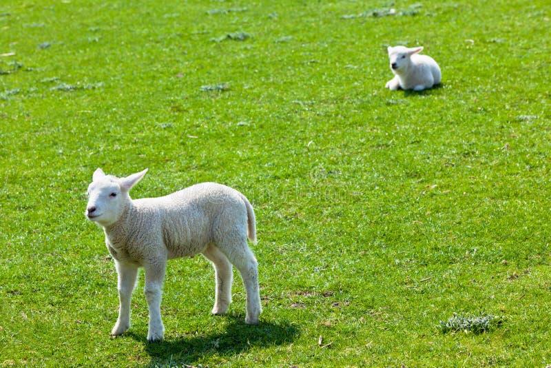 Deux agneaux sur l'herbe verte image libre de droits